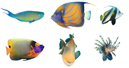 Fish isolated. Parrotfish, Angelfish, Bannerfish, Butterflyfish, Triggerfish, Lionfish