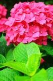 Close-up photo of beautiful pink hydrangea flowers