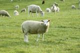 sheeps in a field  - 150903454