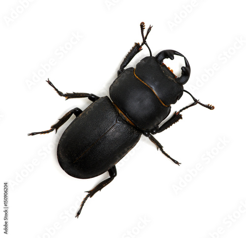 black beetle on white Poster
