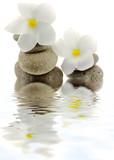 fleurs blanches de frangipanier sur galets, fond blanc