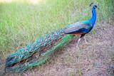 Closeup of peacock
