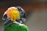 Parrot cleans feathers