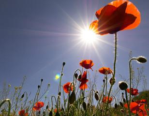 Sun and poppy
