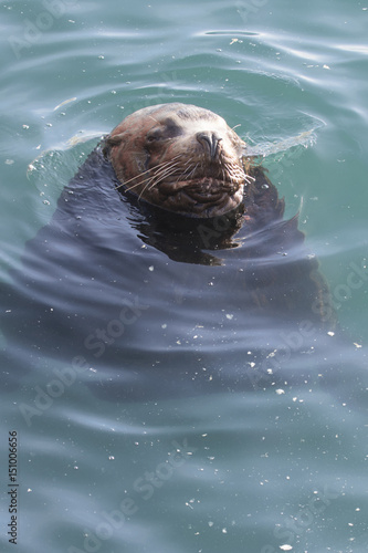 Male sea lion lying in the ocean water near the shore on a winter sunny day Canvas Print