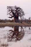 Baobab Tree in evening mood in Botswana