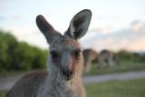 Wild Kangaroo New South Wales