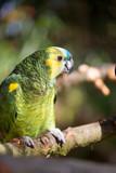 Parrot portrait of bird. Wildlife scene from tropic nature.