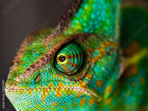 Plexiglas Kameleon cham_portait