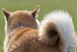野原で遊ぶ柴犬 - 151111675