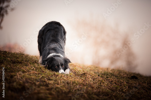 Bowing border collie