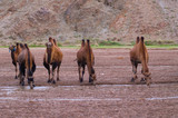 Camels in the desert in Mongolia
