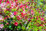 Azalea flowers in the garden in sunny day, natural spring floral background