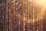 Snow-covered winter russian forest