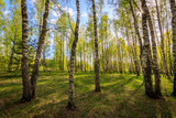 Birch forest with young leaves in spring.