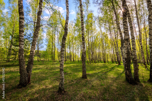 Fotobehang Berkenbos Birch forest with young leaves in spring.