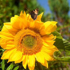Sunflower with Butterfly - Small Tortoiseshell .