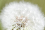 Taraxacum officinale commonly known as dandelion.