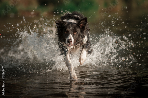Poster Border collie dog running in the water