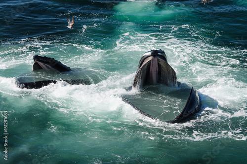 Fotobehang Dolfijn Humpback