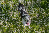 Harlequin great dane in a grassy field from above with flowers
