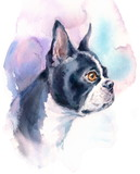 Watercolor Dog Boston Terrier Portrait - Hand Painted Animals Pets Illustration isolated on white background - 151311614