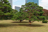 Sculpted pine tree in Hama-rikyu Japanese Garden, an oasis of peace in bustling central Tokyo, Japan