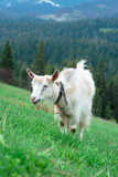 nice cute white coat eating green grass in the mountains - 151329042