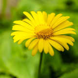 Close up of yellow daisy flowers with blurred background