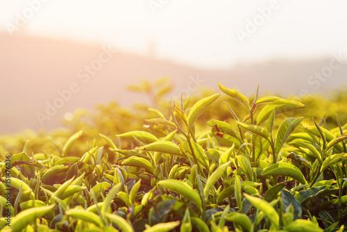 Amazing upper green tea leaves at tea plantation at sunset