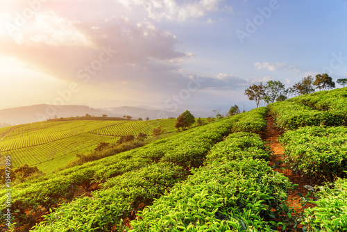 Amazing rows of young bright green tea bushes at sunset