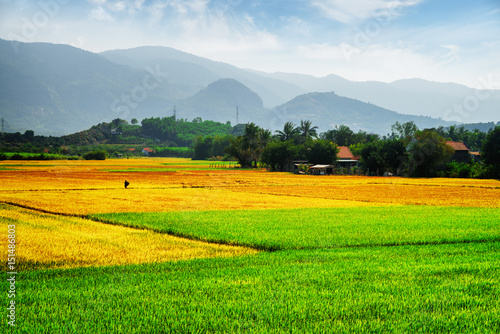 Colorful rice fields at different stages of maturity