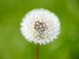 Withered dandelion in the grass in spring