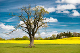 Landscape in spring - old oak tree at rape field and cloud sky - 1538