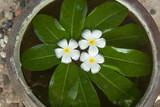 Three Plumeria flower in bowl.  Massage concept.