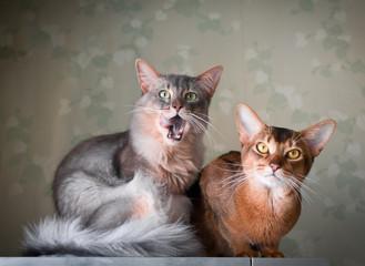 Two cats indoor portrait