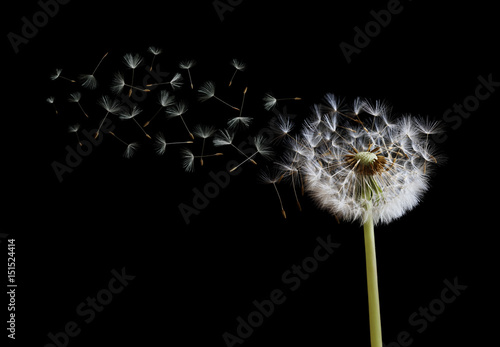 Dandelion seeds in the wind on black background © Brian Jackson
