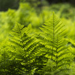 Ferns in Fundy National Park, New Brunswick, Canada