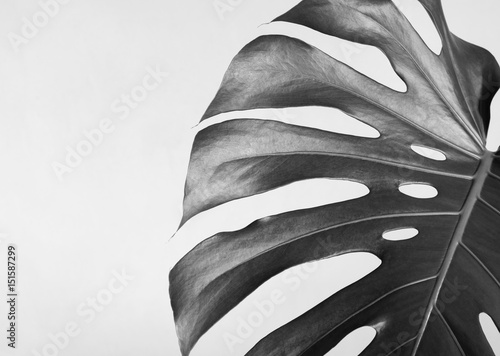 Close-up of the monstera leaf. Abstract composition. Black and white photography. - 151587299