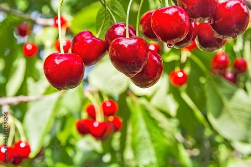 Berries cherries on a branch in the summer rain, macro