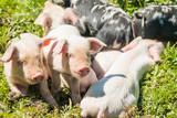 Small cute piglets on the field in nature park Lonjsko polje, Croatia