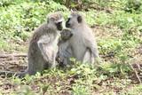 Mandrill, Affenfamilie mit Baby