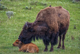Mother Bison cares for baby