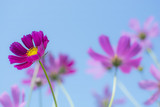 Beautiful pink or purple cosmos (Cosmos Bipinnatus) flowers in soft focus at the park with blurred cosmos flower on blue sky, selective focus