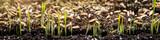 Konzept Säen, Saat und Samen, Keimlinge wachsen auf Erde - 151696084