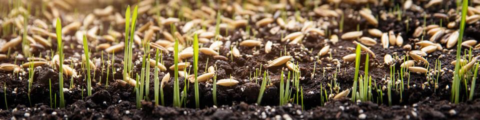 Konzept Säen, Saat und Samen, Keimlinge wachsen auf Erde