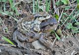 Toads (Bufo gargarizans) 4