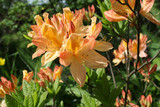 Orange Azalea in the flower garden