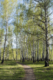 Birch grove with young spring foliage