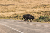 A female bison with her calf cross the road on Antelope Island near Great Salt Lake in Utah, USA.